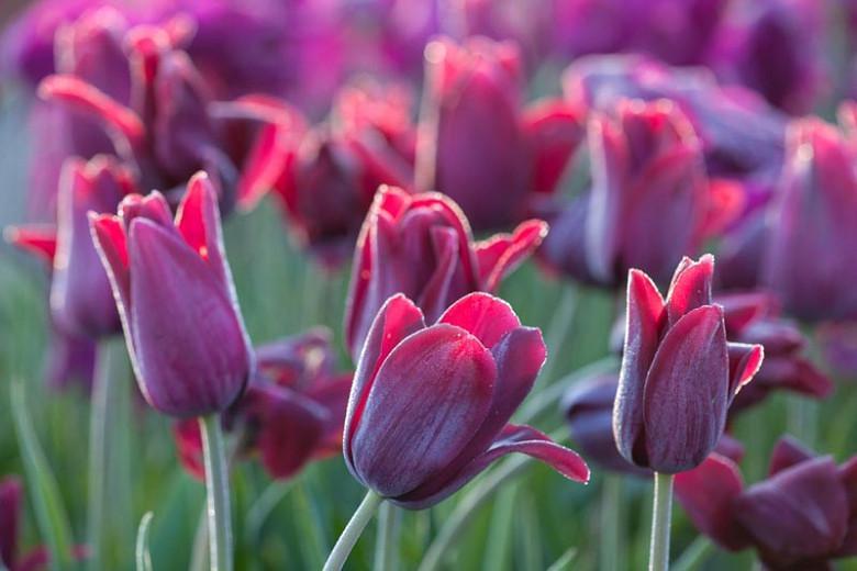 Tulipa Recreado, Tulip 'Recreado', Single Late Tulip 'Recreado', Single Late Tulips, Spring Bulbs, Spring Flowers, Tulipe Recreado, Purple Tulip, Single Late Tulip, Spring Bloom