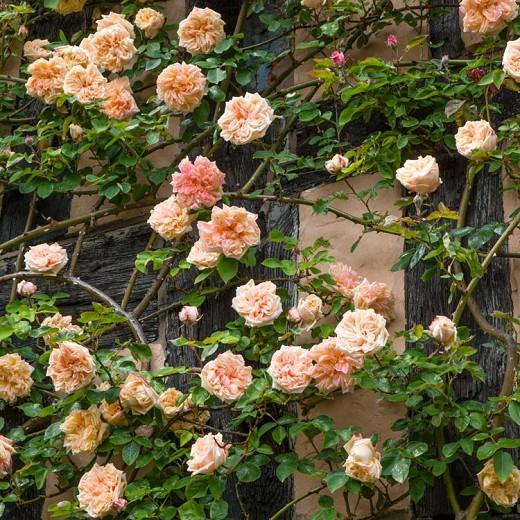 Rose 'Gloire de Dijon', Rosa 'Gloire de Dijon', Climbing Rose 'Gloire de Dijon', Old Glory Rose, Glory John Rose, Noisette Roses, Tea Noisette Roses, Yellow roses, salmon roses, Apricot roses, fragrant roses, Shrub roses, Rose bushes, Garden Roses