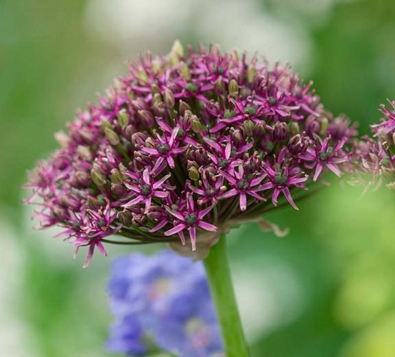 Allium atropurpureum, Allium nigrum var. purpureum, Spring Bulbs, Spring Flowers, Spring Bulbs, Spring Flowers,Giant Onions, Purple flowers