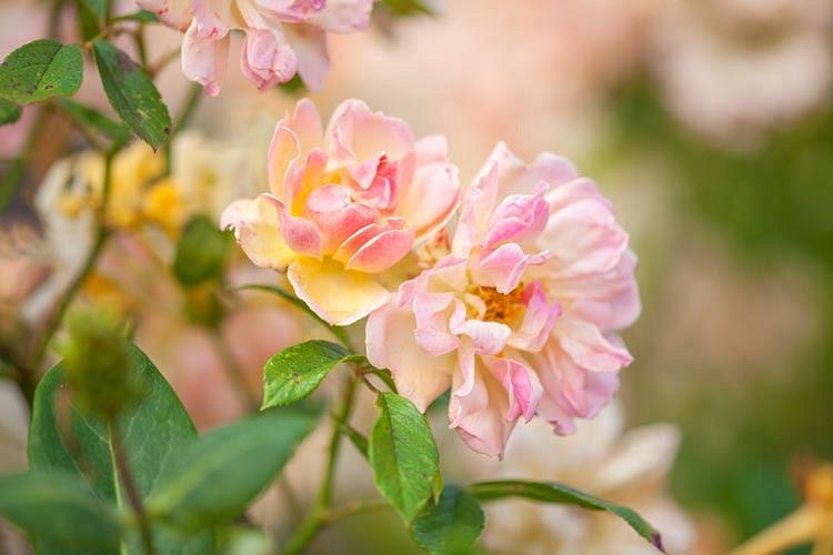 Rosa mutabilis, China Rose, Butterfly Rose 'Mutabilis', Rosa chinensis, Rosa chinensis var. mutabilis, Rosa turkestanica, Rosa x odorata, Pink roses, Rose bushes, Garden Roses