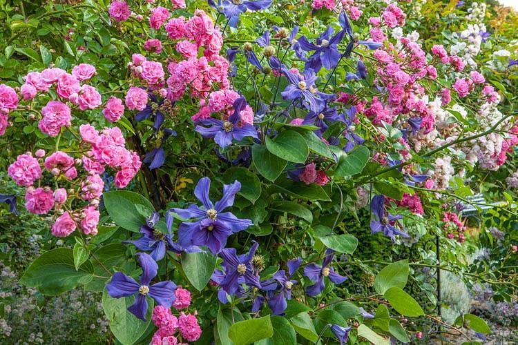 Clematis × durandii, Durand's Clematis, Small-Flowered Clematis , group 3 clematis, purple clematis, blue clematis, Clematis Vine, Clematis Plant, Flower Vines