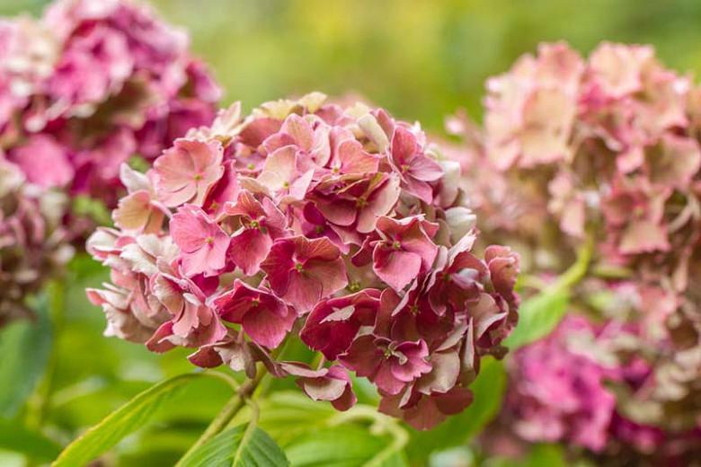 Hydrangea Preziosa, Preziosa Hydrangea, Hydrangea serrata 'Preziosa', Hydrangea macrophylla 'Preziosa', Pink hydrangea, Blue hydrangea,Purple hydrangea
