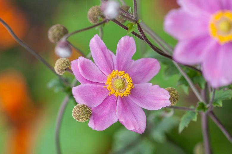 Anemone Pamina, Anemone Hupehensis var Japonica 'Pamina'', Japanese Anemone 'Pamina', Windflower 'Pamina', Anemone x Hybrida 'Pamina', Late summer perennial, pink flowers