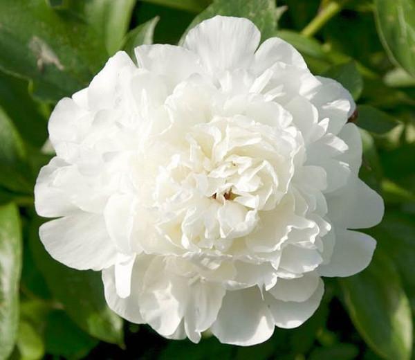 Paeonia Lactiflora 'Elsa Sass', Peony 'Elsa Sass', 'Elsa Sass' Peony, White flowers, White Peonies, Fragrant Peonies