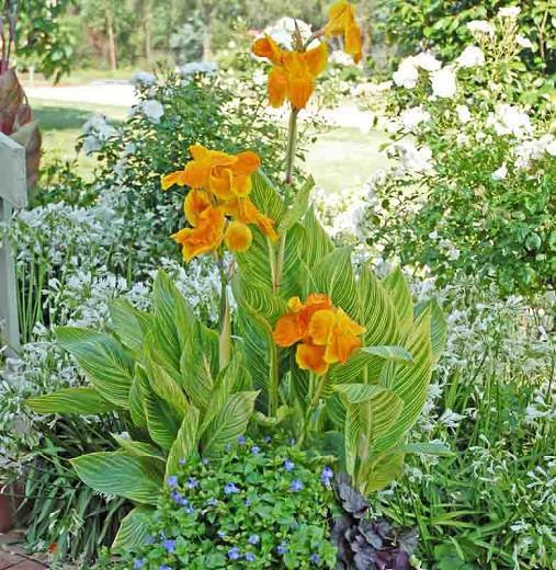 Canna 'Tropicanna Gold', Indian Shot 'Tropicanna Gold', Canna 'Tropicanna', Canna Lily bulbs, Canna lilies, Yellow Canna Lilies, Gold Leaf Canna