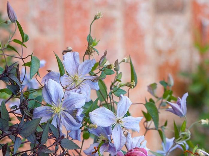 Clematis 'Emilia Plater', Clematis Viticella 'Emilia Plater', group 3 clematis, purple clematis, Blue clematis, lavender clematis, Viticella clematis