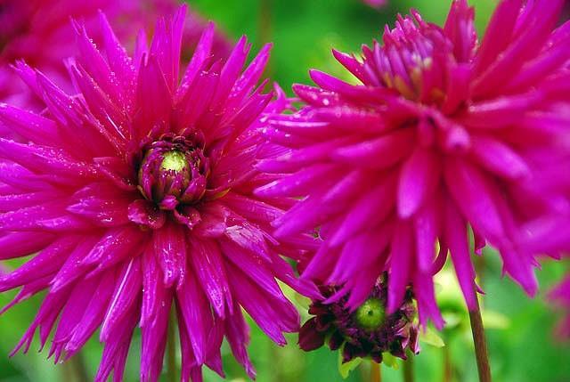 Dahlia 'Ambition', 'Ambition' Dahlia, Cactus Dahlias, Semi-Cactus Dahlias, Purple Dahlia Flowers, Dahlia Tubers, Dahlia Bulbs, Dahlia Flower, Dahlia Flowers, summer bulbs