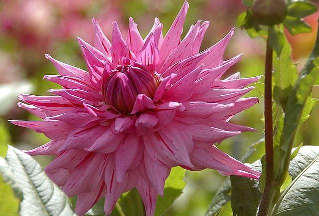 Dahlia 'American Dream','American Dream' Dahlia, Semi-Cactus Dahlias, Dinner Plate Dahlias, Pink Dahlia Flowers, Dahlia Tubers, Dahlia Bulbs, Dahlia Flower, Dahlia Flowers, summer bulbs