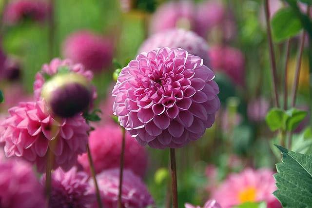 Dahlia 'Jan Van Schaffelaar','Jan Van Schaffelaar' Dahlia, Pompon Dahlias, Purple Dahlias, Dahlia Tubers, Dahlia Bulbs, Dahlia Flower, Dahlia Flowers, summer bulbs