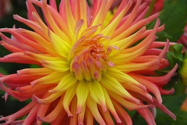 Dahlia 'Alfred Grille', 'Alfred Grille' Dahlia, Cactus Dahlias, Bicolor Dahlia Flowers, Pink Dahlias, Orange Dahlias, yellow Dahlias, Dahlia Tubers, Dahlia Bulbs, Dahlia Flower, Dahlia Flowers, summer bulbs
