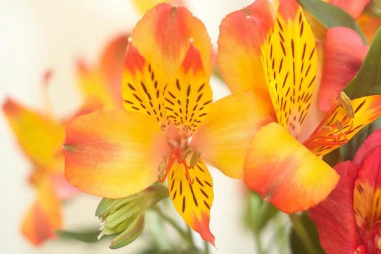 Alstroemeria 'Princess Diana', Peruvian Lily 'Princess Diana', Lily of the Inca 'Princess Diana', Parrot Lily 'Princess Diana', Alstroemeria 'Zapridapal', Princess Series, Yellow Lily, Yellow Peruvian Lily, Yellow Alstroemeria, Lily flower, Lily Flower