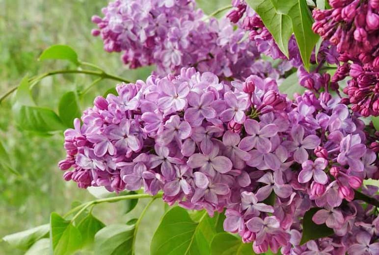 Syringa x hyacinthiflora 'Old Glory', Syringa 'Old Glory', Early Flowering Lilac 'Old Glory', Early Hybrid Lilac 'Old Glory', Purple lilac, Fragrant Lilac, Purple Flowers, Fragrant Shrub, Fragrant Tree