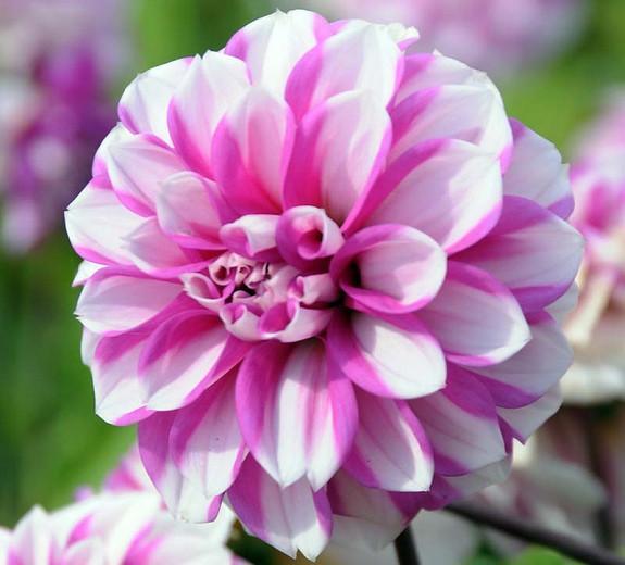 Dahlia 'Priceless Pink', 'Priceless Pink' Dahlia, Water Lily Dahlias, WaterLily Dahlias, Pink Dahlias, Bicolor Dahlias, Dahlia Tubers, Dahlia Bulbs, Dahlia Flower, Dahlia Flowers, summer bulbs
