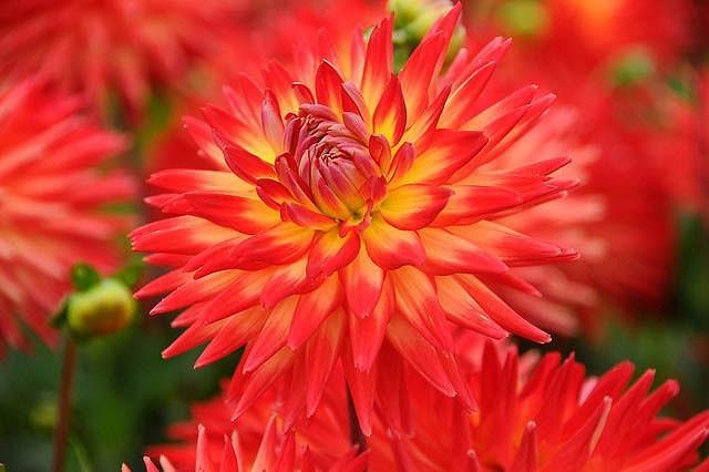 Dahlia 'Karma Bon Bini','Karma Bon Bini' Dahlia, Cactus Dahlias, Bicolor Dahlia Flowers, Orange Dahlias, Dahlia Tubers, Dahlia Bulbs, Dahlia Flower, Dahlia Flowers, summer bulbs