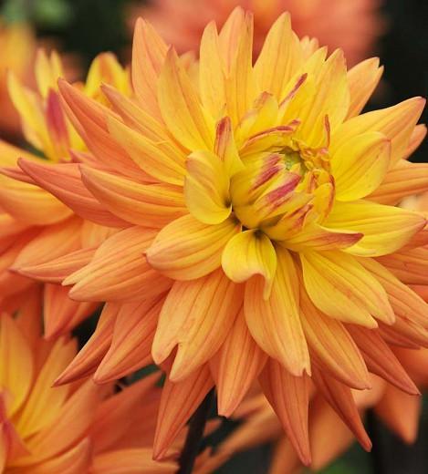 Dahlia 'Karma Corona', 'Karma Corona' Dahlia, Semi-Cactus Dahlias, Yellow Dahlias, Orange Dahlias, Karma Dahlias, Dahlia Tubers, Dahlia Bulbs, Dahlia Flower, Dahlia Flowers, summer bulbs