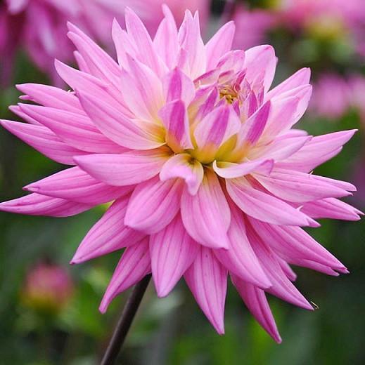 Dahlia 'Karma Pink Corona', 'Karma Pink Corona' Dahlia, Semi-Cactus Dahlias, Pink Dahlias, Karma Dahlias, Dahlia Tubers, Dahlia Bulbs, Dahlia Flower, Dahlia Flowers, summer bulbs