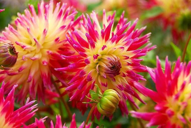 Dahlia 'Tahiti Sunrise', 'Tahiti Sunrise' Dahlia, Semi-Cactus Dahlias, Cactus Dahlias, Bicolor Dahlia Flowers, Red Dahlias, Yellow Dahlias,Dahlia Tubers, Dahlia Bulbs, Dahlia Flower, Dahlia Flowers, summer bulbs