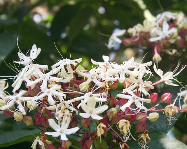 Clerodendrum trichotomum,Harlequin Glorybower, Peanut Butter Tree, Japanese Clethra, Flowering Shrubs, Fragrant shrub, White flowers, Blue Fruits, Purple Fruits,