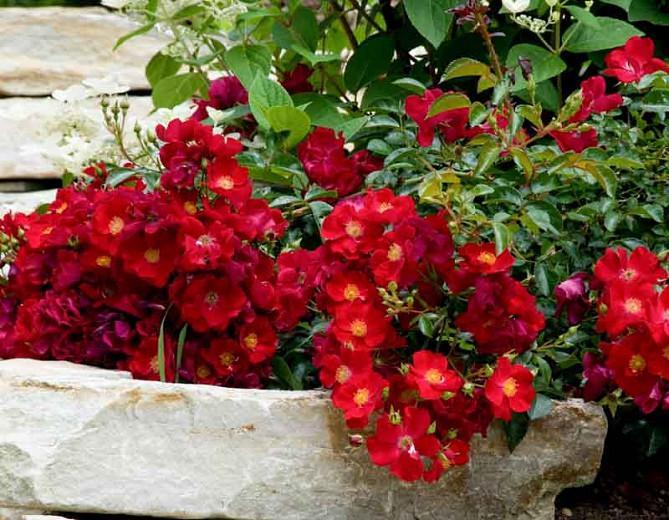 Rose 'Flower Carpet Scarlet', Rosa 'Flower Carpet Scarlet', Groundcover Roses, Red roses