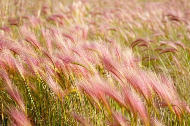Hordeum Jubatum, Foxtail Barley, Fox Squirrel Tail, Wild Barley, Ornamental Grass, Ornamental Grasses, Grasses, decorative Grasses, Perennial Grasses