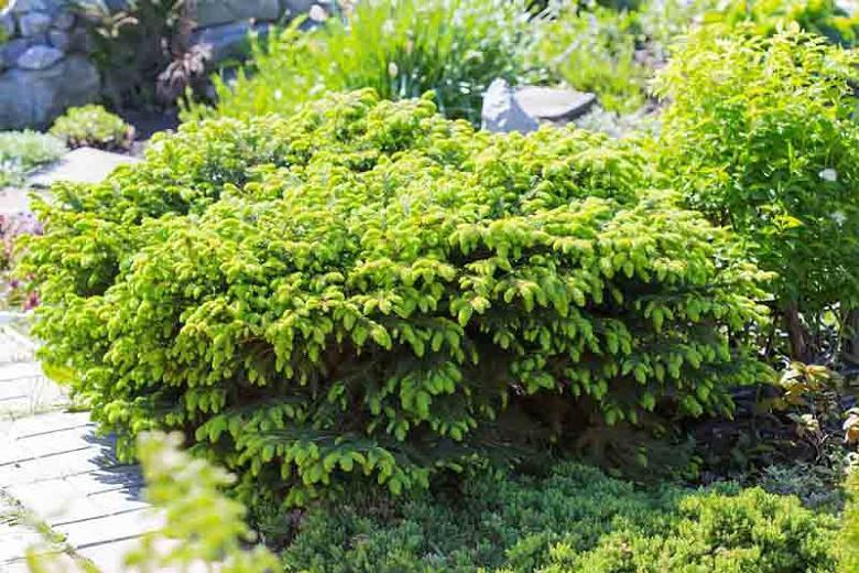 Picea abies 'Nidiformis', Norway Spruce 'Nidiformis', Nidiformis Norway Spruce, Bird's Nest Spruce, Evergreen Conifer, Evergreen Shrub, Small Conifer,