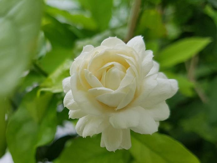 Jasminum Sambac Grand Duke of Tuscany, Arabian Jasmine Grand Duke of Tuscany, Mohle Flower Grand Duke of Tuscany, Zambac Grand Duke of Tuscany, Sampa Gita Grand Duke of Tuscany,Fragrant Vine, Fragrant Shrub, Evergreen Vine, evergreen shrub, White Flowers