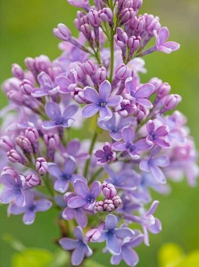 Syringa vulgaris 'Wedgewood Blue',Syringa 'Wedgewood Blue', Lilac 'Wedgewood Blue', blue lilac, Fragrant Lilac, blue Flowers, Fragrant Shrub, Fragrant Tree