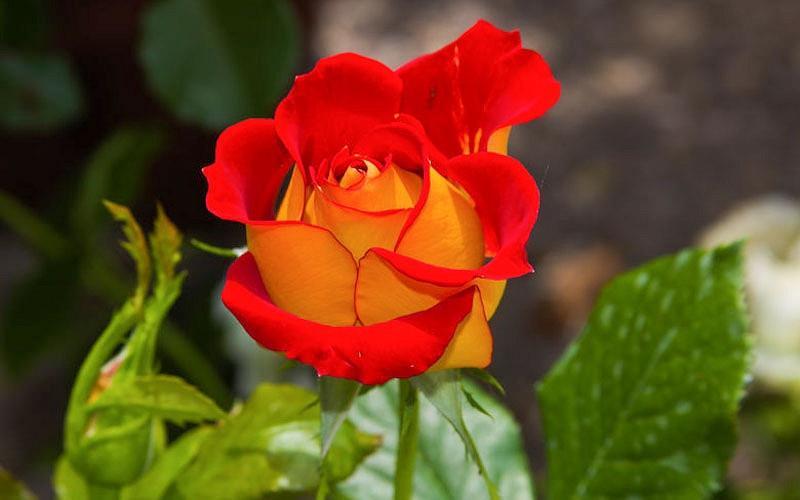 Rosa 'Ketchup & Mustard',Rose 'Ketchup & Mustard', Rosa 'Wekzazette', Shrub Roses, Floribunda Roses, Floribunda Roses, Yellow Roses, Red Roses, Bicolor Roses
