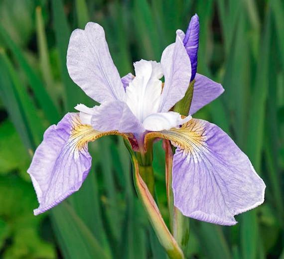 Iris Sibirica 'Sky Wings', Siberian Iris Sky Wings', Siberian Flag Sky Wings', Blue flowers, Flowers for wet soils, Plants for wet soils
