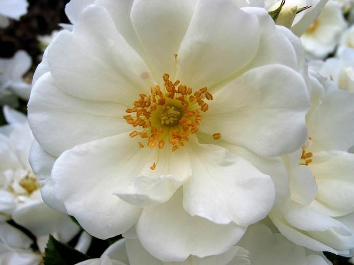 Rosa Flower Carpet White Groundcover Rose