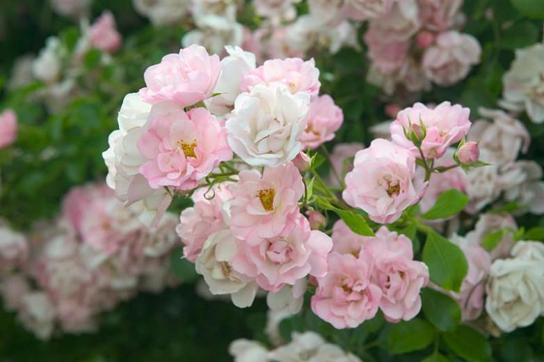 Rose 'Flower Carpet Appleblossom', Rosa 'Flower Carpet Appleblossom', Groundcover Roses, Pink roses