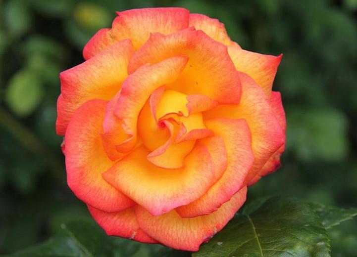 Rosa 'Rio Samba', Rose 'Rio Samba', Rosa 'JACrite', Hybrid Tea Roses, Shrub Roses, Yellow roses, Red Roses, Bicolor Roses, Shrub roses, Rose bush