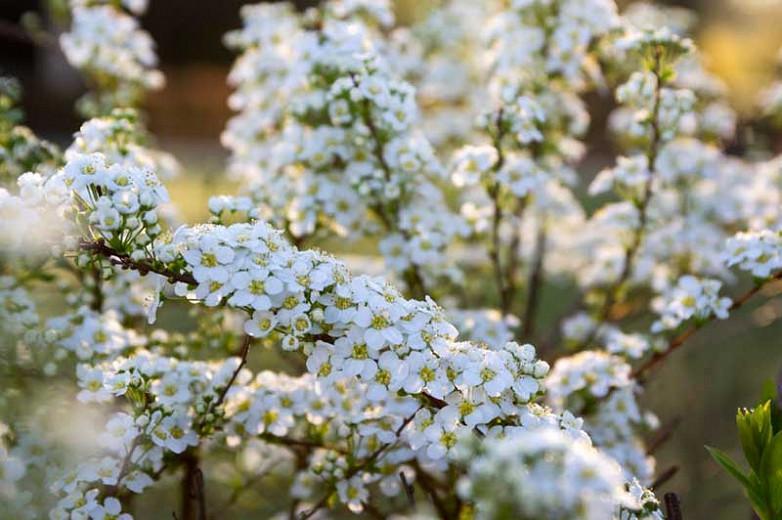Spiraea x cinerea 'Grefsheim', Garland Spirea 'Grefsheim', Spiraea × arguta 'Grefsheim', White Flowers, Flowering shrub, Baby's Breath Spirea