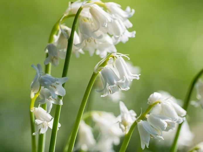Hyacinthoides non-scripta Alba, English Bluebells 'Alba', Wild Hyacinth 'Alba', Bluebells 'Alba', Wood Bells 'Alba', White Bluebells, White Flowers