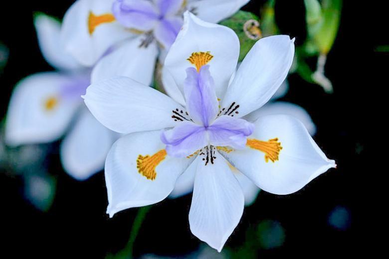 Dietes grandiflora,Fairy Iris, Wild Iris, Large Wild Iris, Dietes grandiflora 'Reen Lelie'