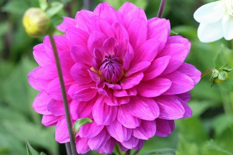 Dahlia 'Karma Lagoon', 'Karma Lagoon' Dahlia, Decorative Dahlias, Purple Dahlias, Karma Dahlias, Dahlia Tubers, Dahlia Bulbs, Dahlia Flower, Dahlia Flowers, summer bulbs