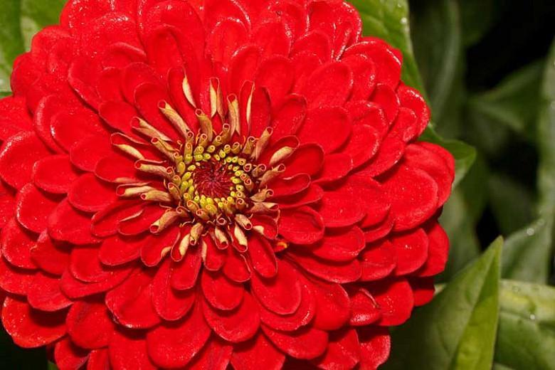 Zinnia 'Benary's Giant Scarlet', Zinnia Elegans 'Benary's Giant Scarlet', Benary's Giant series, Scarlet Zinnia, Scarlet Double Zinnia, Tall Zinnia, Red Zinnia, Red Double Zinnia