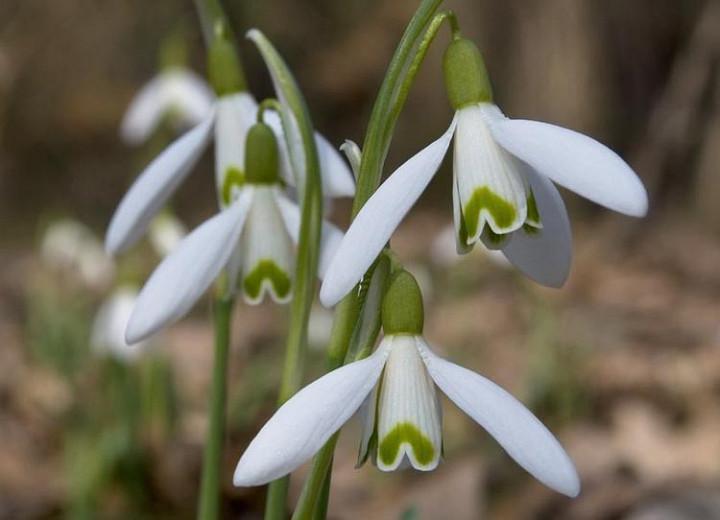 Galanthus Reginae-Olgae, Autumn Snowdrop, Fall Snowdrop, early flowering bulb, winter bulb, white flowering bulb, White winter flowers