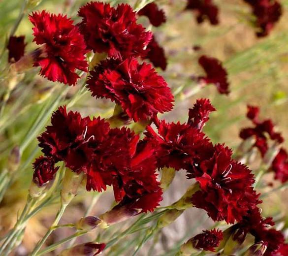 Dianthus caryophyllus 'King of the Blacks', Hardy Carnation 'King of the Blacks', Dianthus 'King of the Blacks', Dianthus 'Grenadin King of Blacks', Perennial Dianthus, Perennial Carnation, Red Carnation, Red Flowers, Clove Pink 'King of the Blacks'