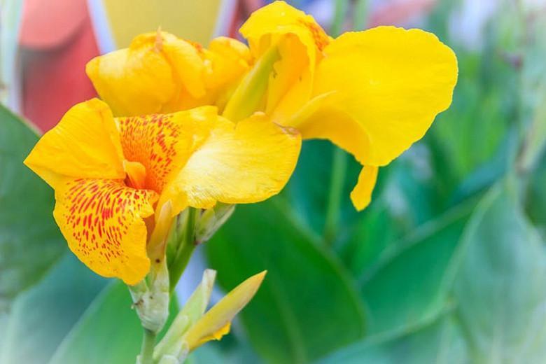 Canna 'Golden Lucifer', Indian Shot 'Golden Lucifer', Cana Lily Golden Lucifer, Canna Lily bulbs, Canna lilies, Yellow Canna Lilies, Red Canna Lilies, Bicolor Canna Lilies
