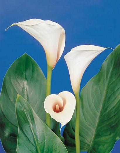 Zantedeschia Aethiopica Pink Mist Calla Lily