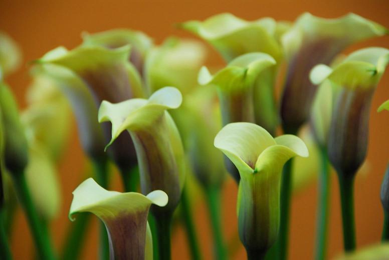 Zantedeschia 'Captain Chelsea, Calla Lily 'Captain Chelsea' , Arum Lily 'Captain Chelsea', Calla Lilies, Arum Lilies, Zantedeschia care, Yellow calla lilies, Yellow flowers