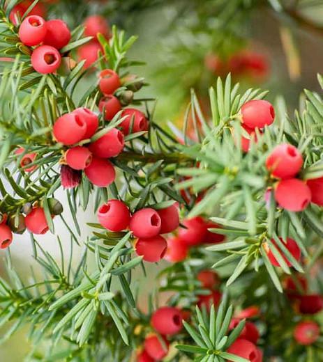 Taxus baccata 'Fastigiata Aurea',Irish Yew 'Fastigiata Aurea', Florence Court Yew 'Fastigiata Aurea', Blue John 'Fastigiata Aurea',  Court Yew 'Fastigiata Aurea', Golden Irish Yew', Evergreen Shrub, Evergreen Tree