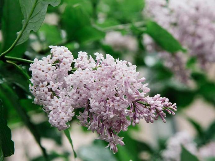 Syringa x persica', Persian Lilac, Fragrant Lilac, Purple Flowers, Fragrant Shrub, Fragrant Tree, Purple Lilac