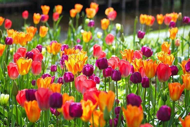 Tulipa 'Attila', Tulip 'Attila', Triumph Tulip 'Attila', Triumph Tulips, Spring Bulbs, Spring Flowers, Purple Tulips, Tulipes Triomphe, Mid spring tulips