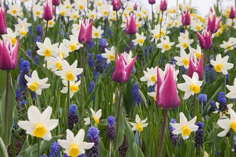 Narcissus Jack Snipe Cyclamineus Daffodil