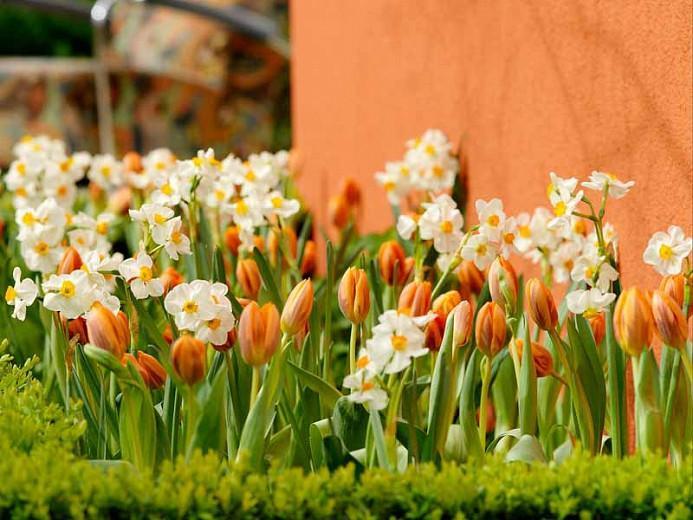 Narcissus Geranium, Daffodil 'Geranium', Tazetta Daffodil 'Geranium', Spring Bulbs, Spring Flowers, mid spring bulb, late spring bulb, mid season narcissus, late season narcissus, fragrant daffodil