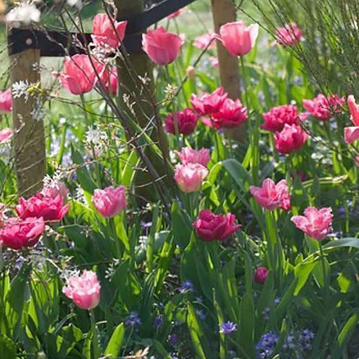 Tulipa Fancy Frills, Tulip 'Fancy Frills', Fringed Tulip 'Fancy Frills', Fringed Tulips, Spring Bulbs, Spring Flowers, Tulipe Fancy Frills, Pink Tulips, Tulipes Dentelle