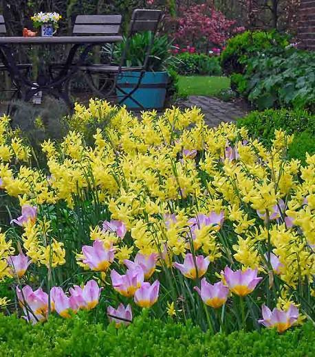 Narcissus Hawera, Daffodil 'Hawera', Triandrus Daffodil 'Hawera', Triandrus Daffodils, Angel's Tears, Spring Bulbs, Spring Flowers, Dwarf daffodil, mid spring daffodil, late spring bloomer, Triandrus Narcissus, yellow daffodil