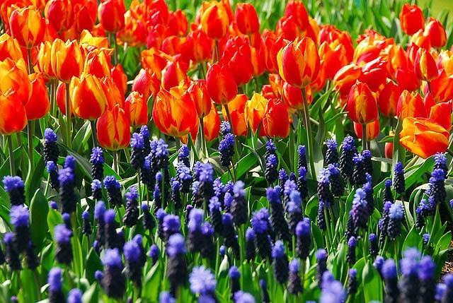Muscari Latifolium, Grape Hyacinth, Broad-leaved Grape Hyacinth, Spring Bulbs, Spring Flowers, Blue Muscari, Mid spring bulbs, Late spring bulbs